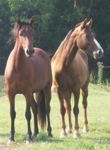 Liver Chestnut Morgan Mare