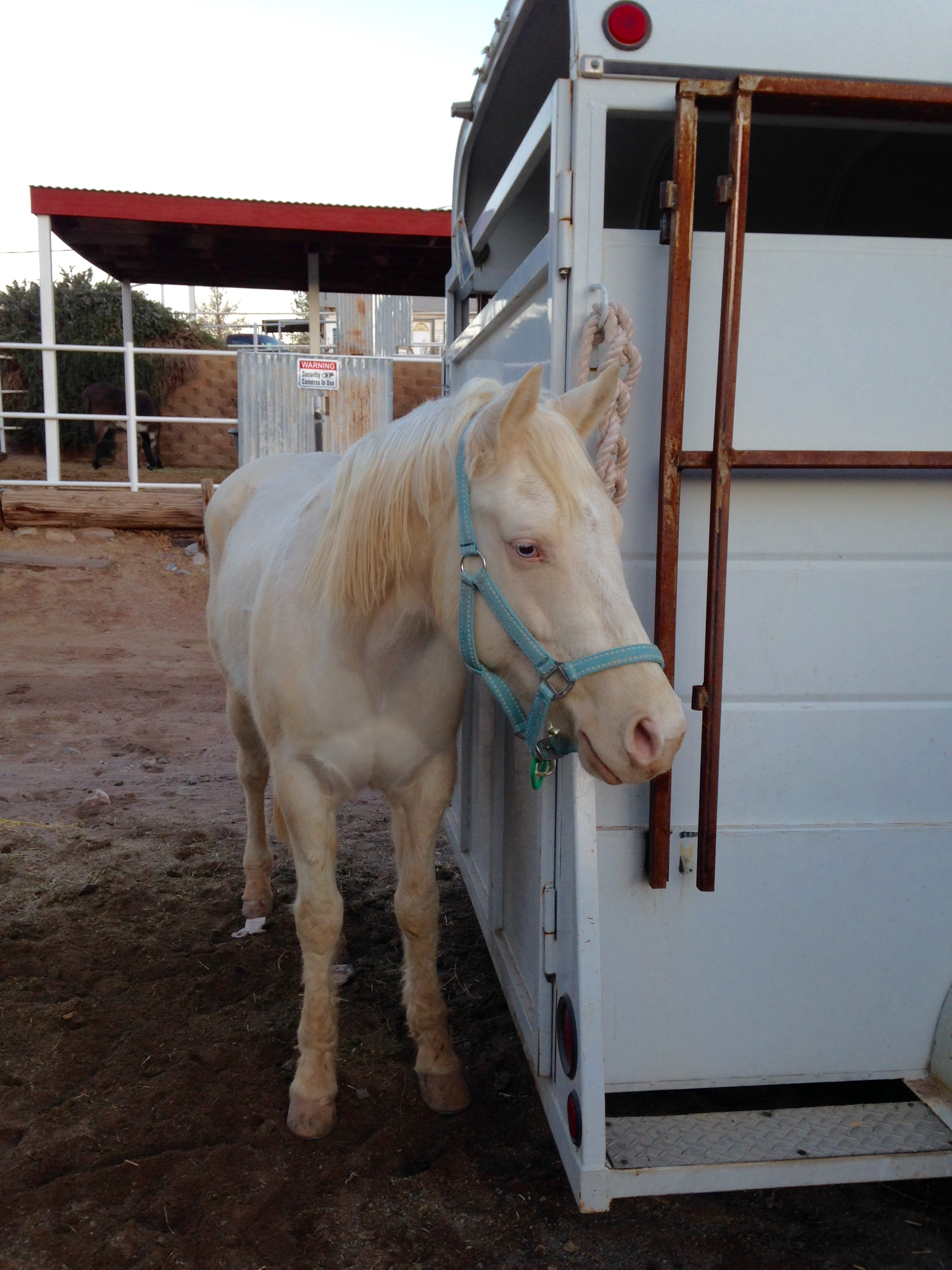 5 YR OLD BEGINNER FRIENDLY GELDING/ YOUR NEXT PROSPECT