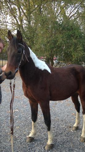 Exceptional Trail Hrs,SWEET,,Gentle,LOVING,4-Beat Gait,