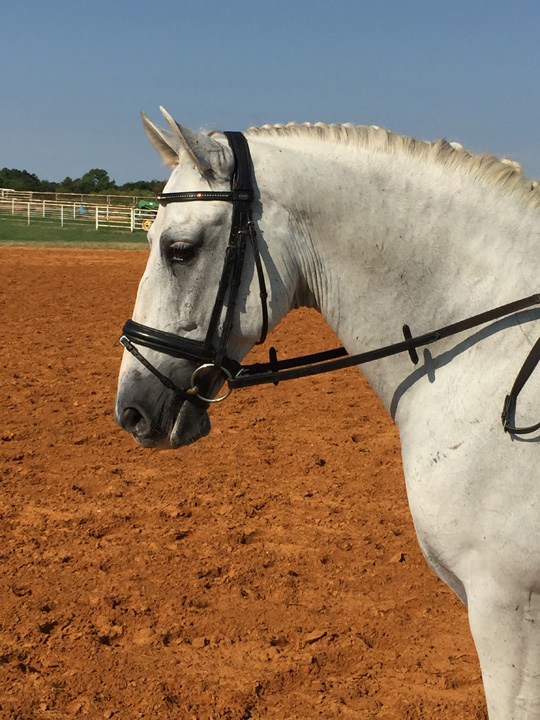 Baroque Working Equitation Prospect Dallas TX area