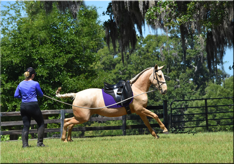 Sensational Palomino Lusitano loaded with talent!