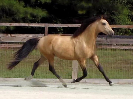 Gorgeous Buckskin Lusitano Gelding - AA friendly