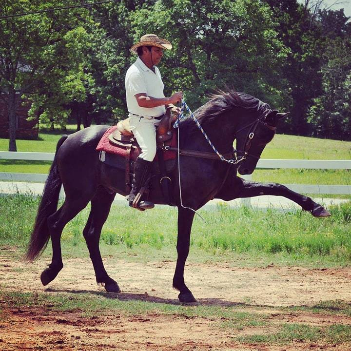 2014 Friesian sporthorse stallion