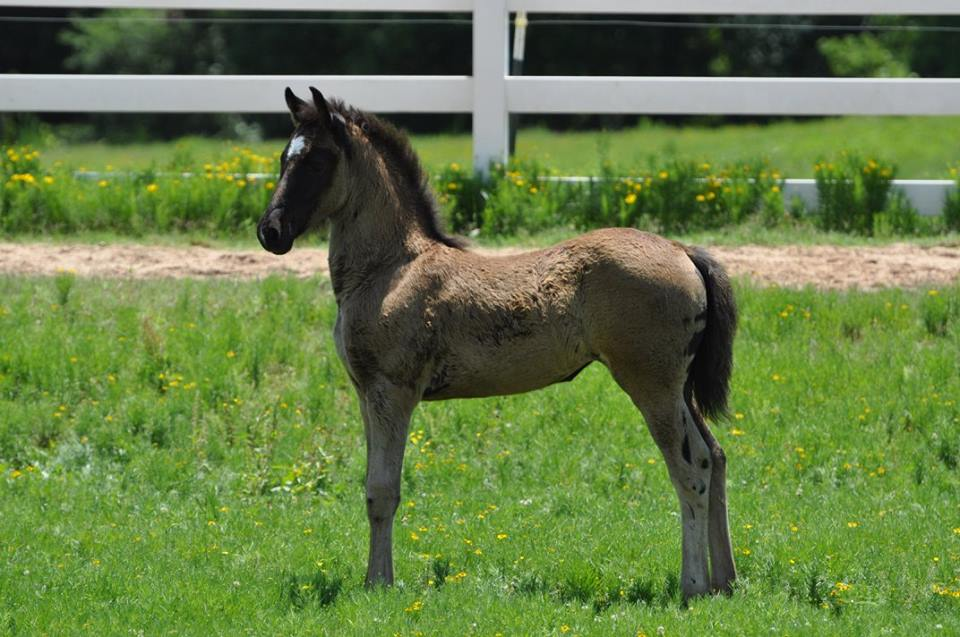 Friesian sporthorse filly