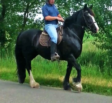 Pretty 15.2hh black cob