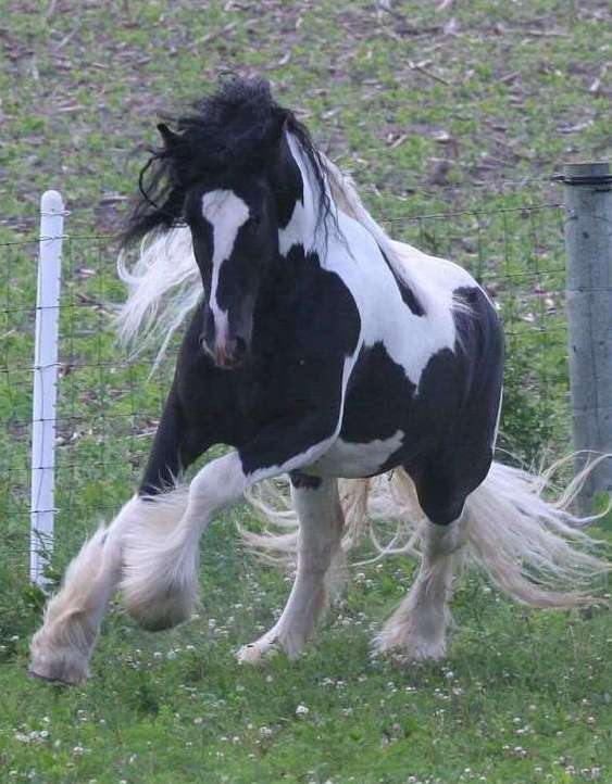 Broke, healthy,non spooky Gypsy Vanner Stallion dressag