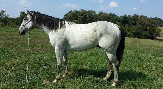 Grey,beautiful,dressage, trail, non spooky Quarter Hors