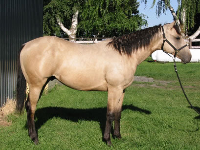 registered mare kidsafe 7years AQHA