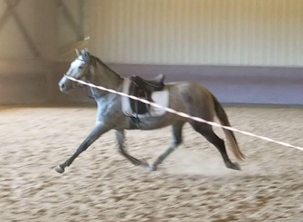 Incredible 2014 Andalusian Mare under saddle