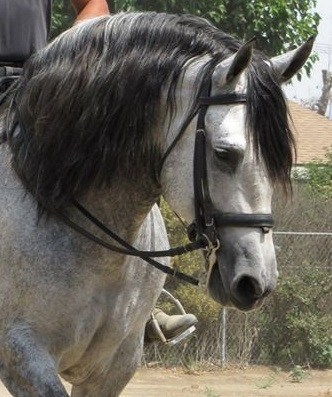 Multiple National Champion Andalusian Stallion
