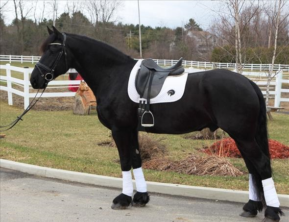 Trained friesian gelding now available