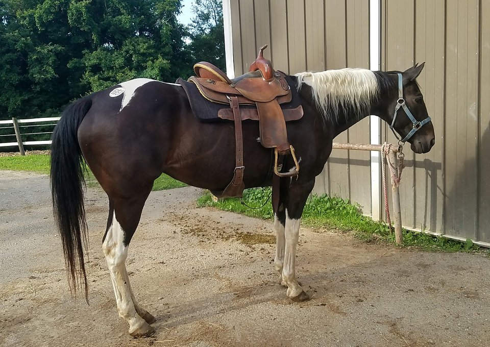 Palomino Quarter Horse Mare For   Sale