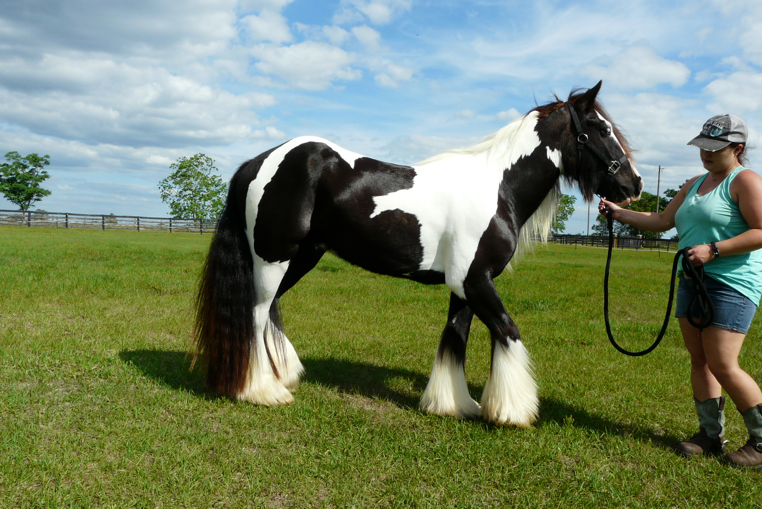 Well Ribboned Gelding with Black Tail