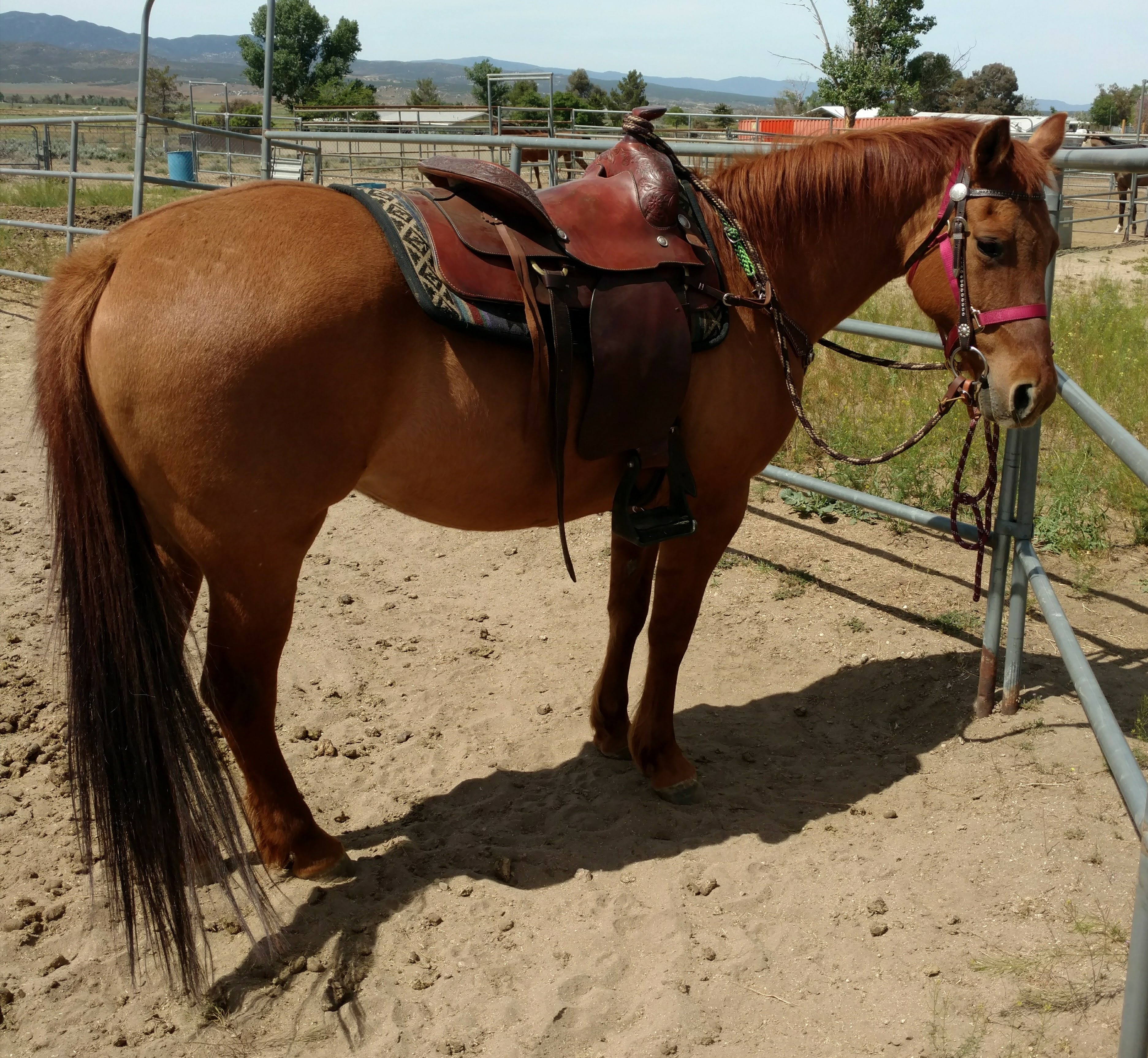 Your next trail partner or junior rodeo horse