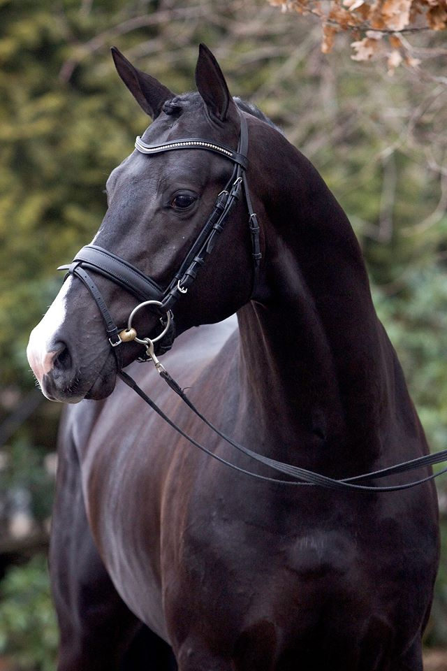 Top Quality Dressage prospect