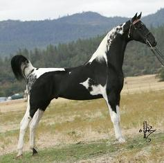 Multi Champion Homozygous Stallions of Winning lines.