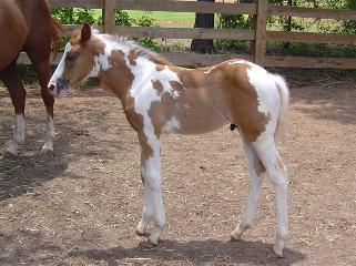 APHA 2002 mare for exp.handler to train