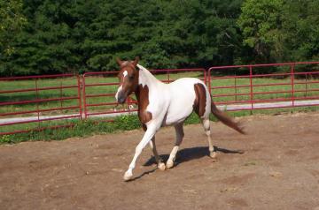 Pinto Pony mare