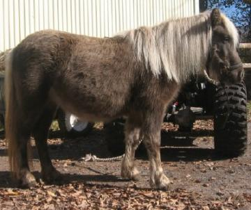 Nice mini mare for adoption
