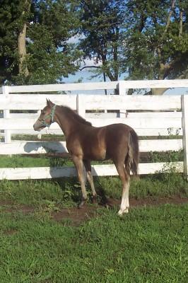 ASPC Shetland pony