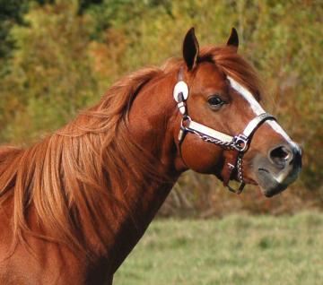 FOUNDATION BRED STALLION - STUD FEE $750.00
