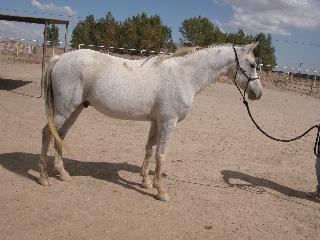 Two Arabians for sale