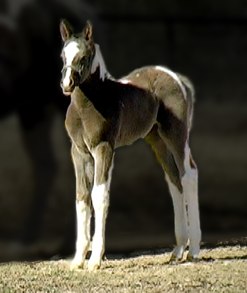 Black and White Tobiano Pinto Paint Arabian