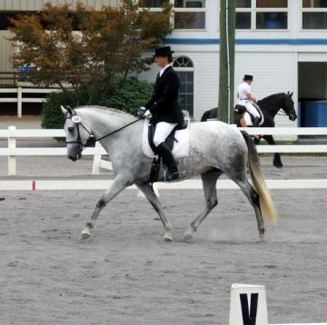 16h 2001 PRE ANDALUSIAN DRESSAGE MARE