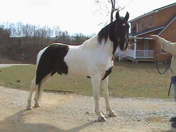 Stunning Tennessee Walking Horse