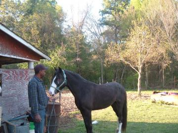 gaited walking horse