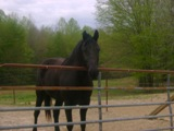 BLACK TENNESSEE WALKER FOR SALE