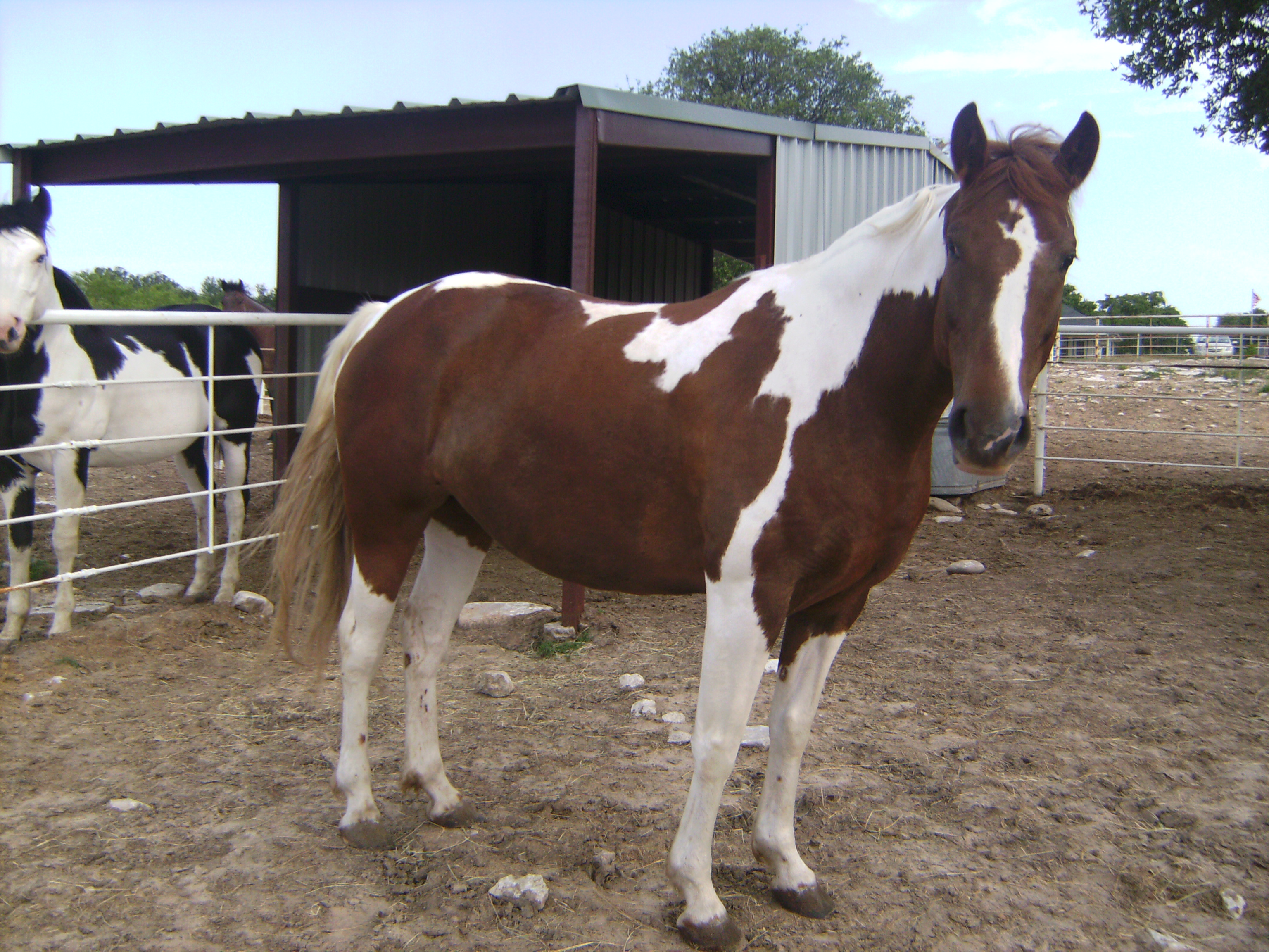 6 yr. old apha registered mare
