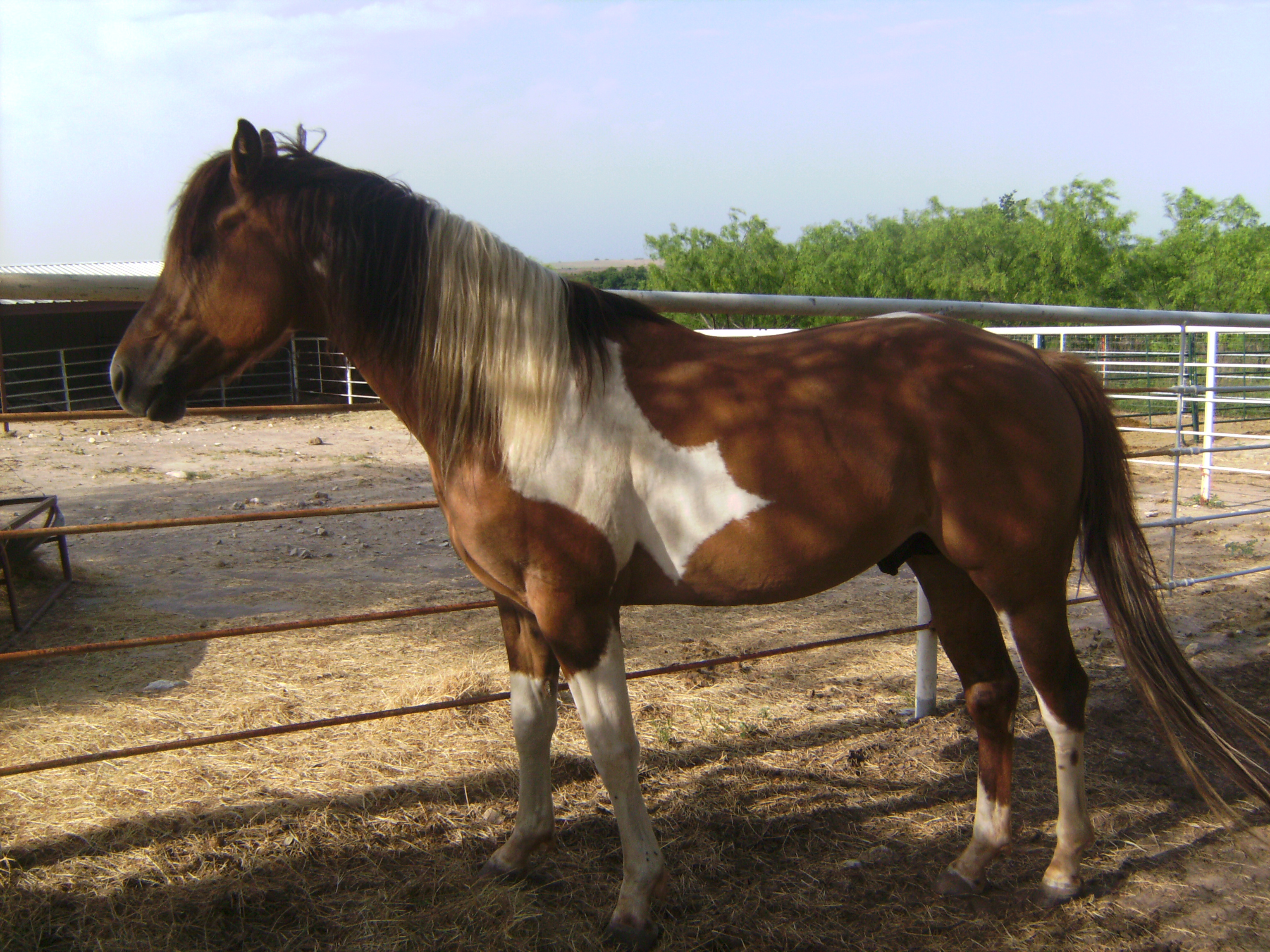 4 yr. old paint stallion