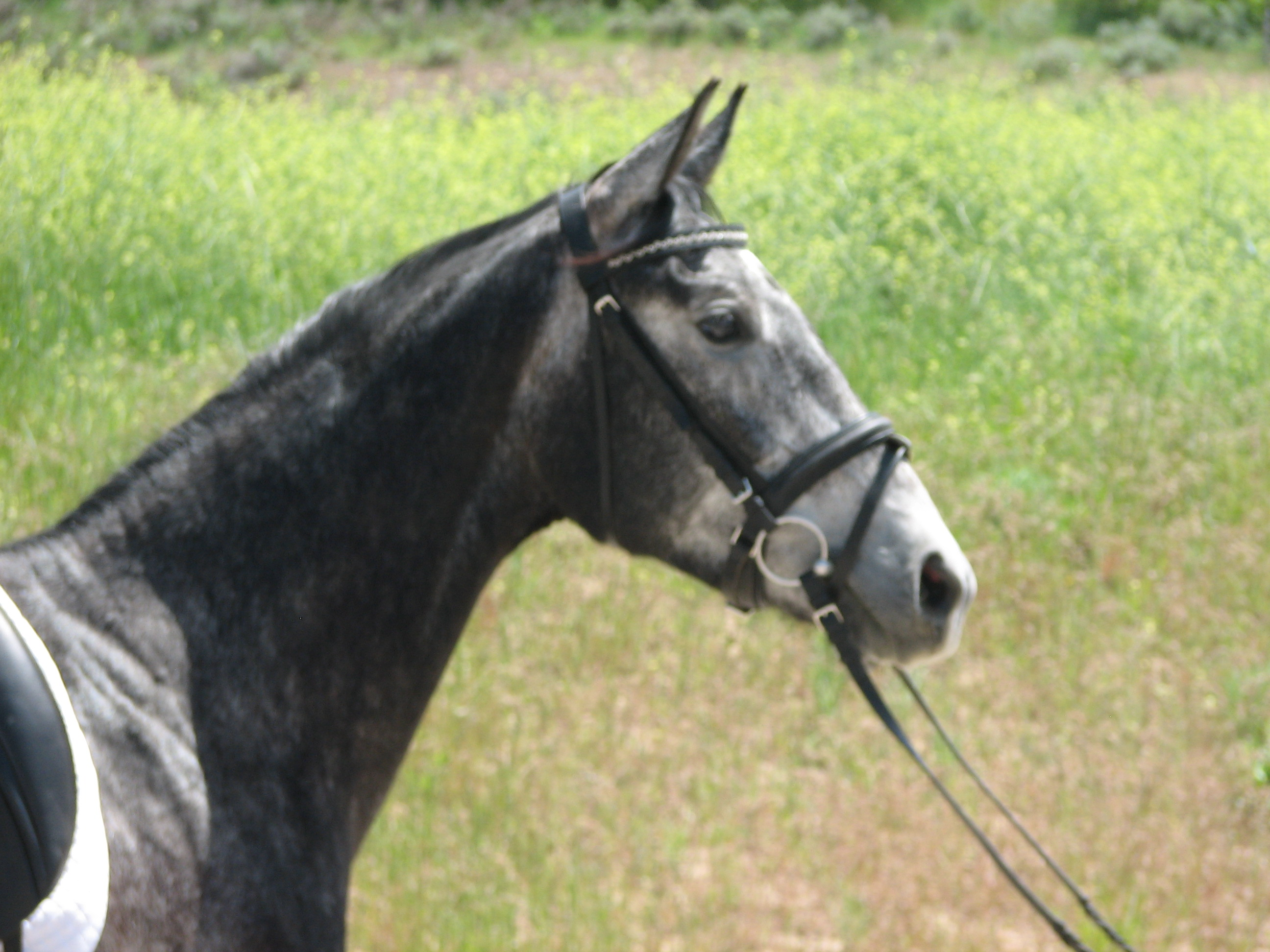 Dressage Prospect - Ready to show