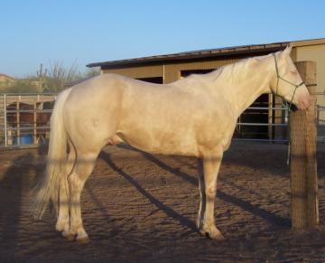 Flashy Cremello Stallion