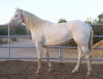 Hancock Bred Perlino Stallion