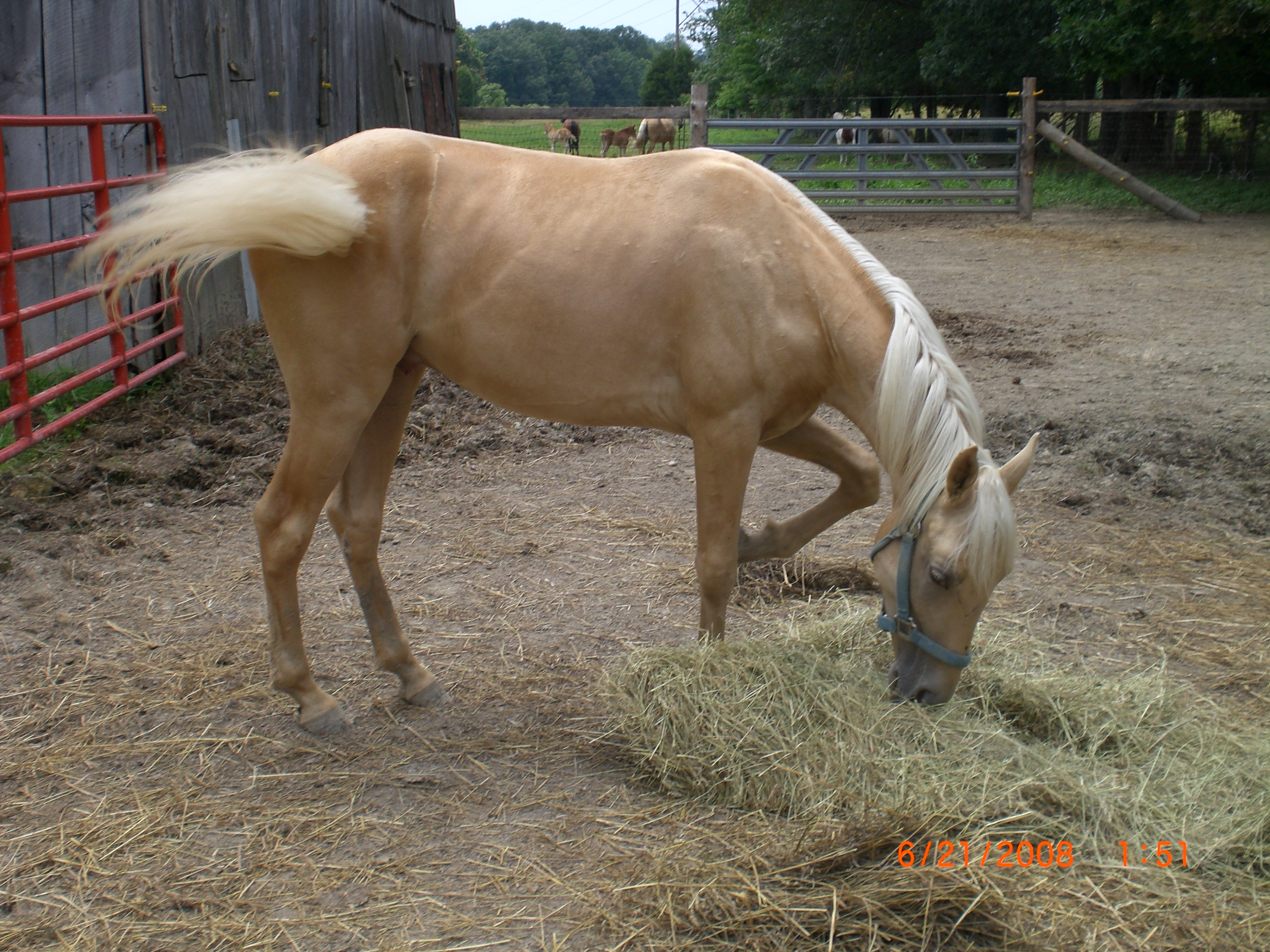 17 month old stud for sale
