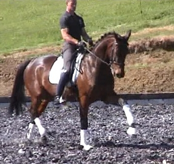Impressive dressage youngster with super potential