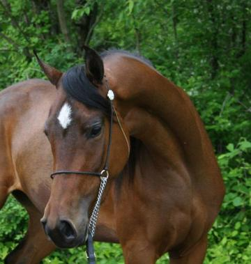 Beautiful Bay Arabian Mare, 5Yr Old, 15,1 hands, broke