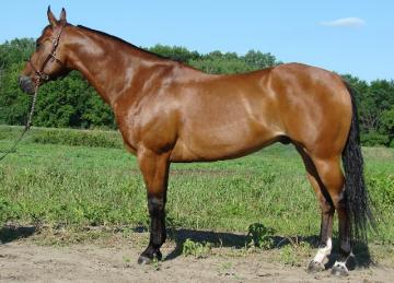 Gorgeous, talented gelding!  Versatile and very broke!