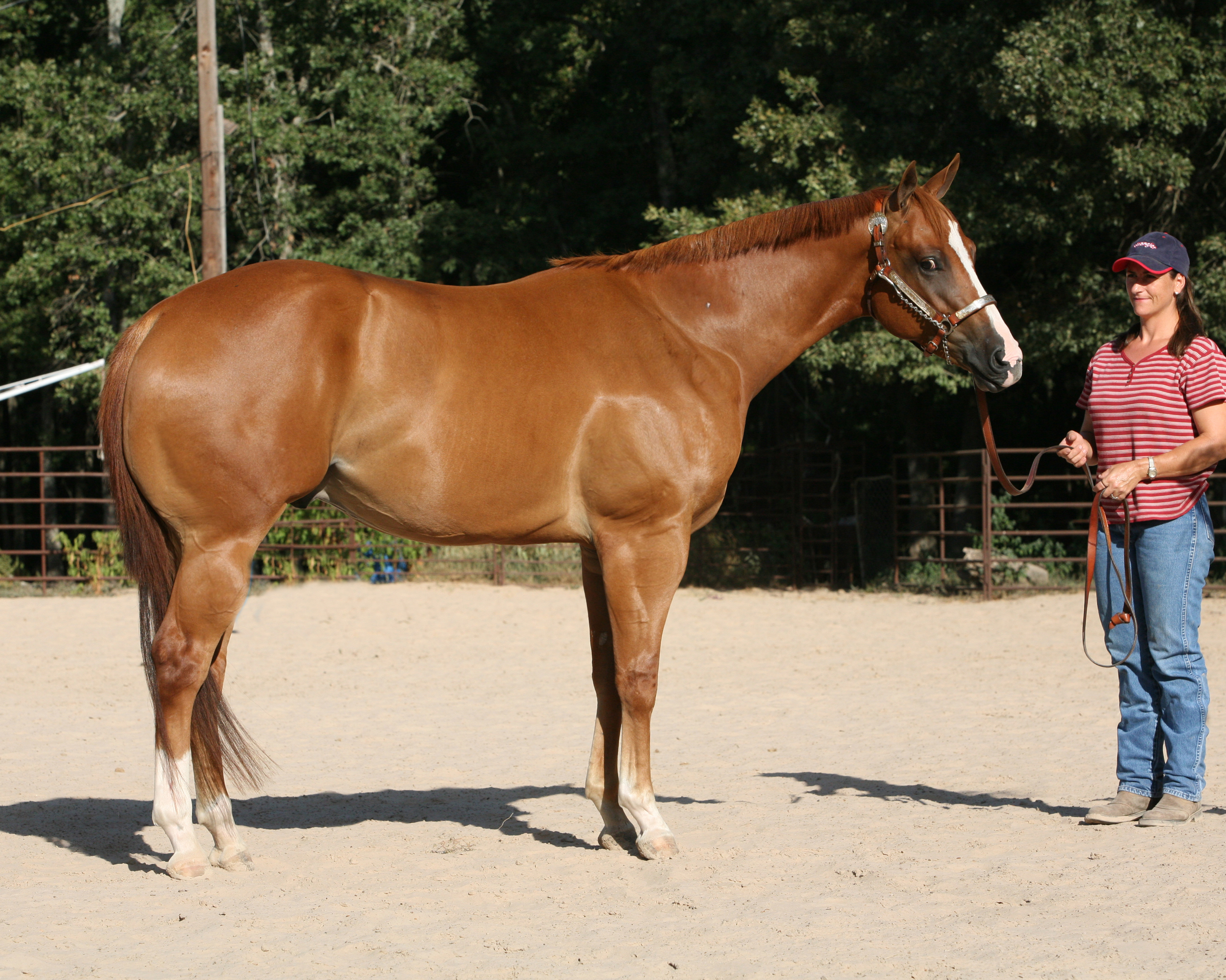 Fancy World Champion sired 2 yr old gelding