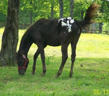 Beautiful blanketed stud colt with great attitude!