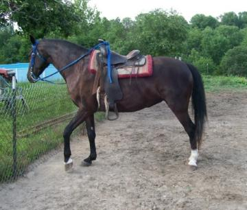 5 Yr Old Black Fox Trotter Mare