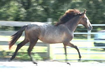 2007 Black/Gray P.R.E. Andalusian yearling Filly. Inscr