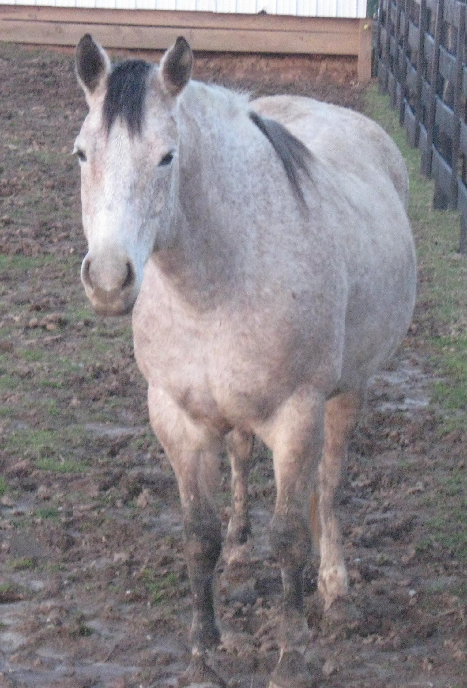 AQHA Gray Mare in Foal w/KY BIF