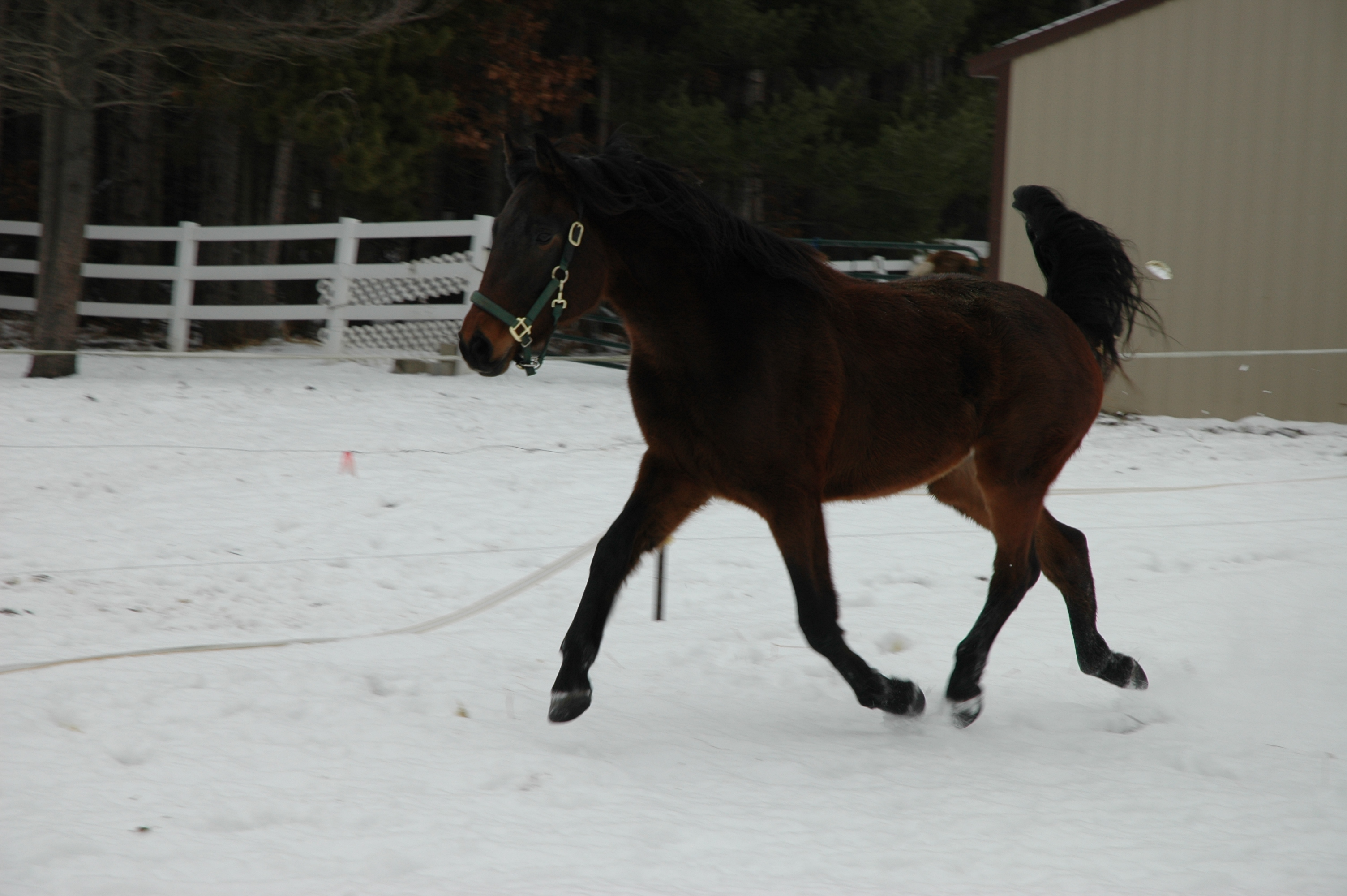 Elegant Connemara/Thorougbred Gelding