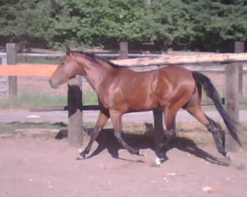 gorgeous bay aqha 3 year old stud for sale-gentle