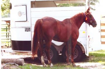 TRAIL/4-H HORSE FOR SALE