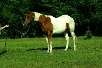 Beautiful Baby Face!  Nice Tobiano gelding, green broke