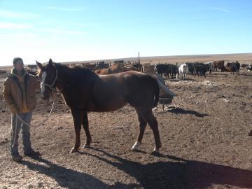 Sorrel (Roans out) Grade Quarter Horse Gelding $1500.00
